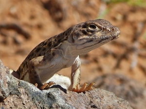 The leopard lizard is an endangered species because of habitat destruction. This fellow generously posed for me.